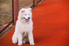 Young White Samoyed Dog Sitting Outdoor - stock photo