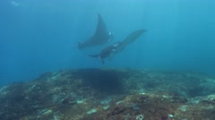 Manta rays (Manta blevirostris) hovering on top of cleaning station Stock Footage
