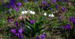 Spring Snowflake Flowers, Leucojum Vernum, Group in a Spring Forest Stock Footage