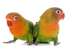 Young fischeri lovebirds Stock Photos
