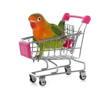Young fischeri lovebird in trolley Stock Photos