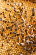 Working bees on the yellow honeycomb with sweet honey. - stock photo