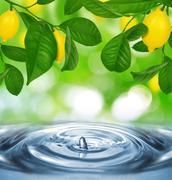 Lemon tree with lemons Stock Photos