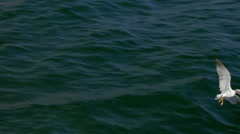 Seagulls searching for food in sea - stock footage