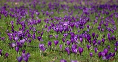 Crocus is a Genus of Flowering Plants in the Iris Family Stock Footage