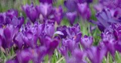 Filed of Purple Crocus Flowers in Spring Stock Footage
