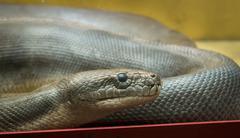 Python in the terrarium - stock photo