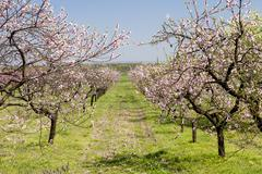 blooming peach orchard - stock photo