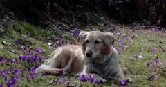 Dog on a Mountain Field With Crocuses Stock Footage