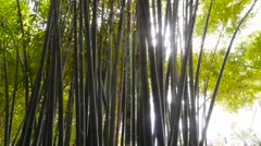 Bamboo forest natural environment construction material, sunlight canopy harvest Stock Footage