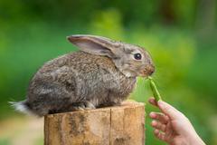 Cute Shy Baby Rabbit. Feeding animal - stock photo