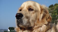 Close up face of Golden Retriever dog Stock Footage
