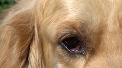 Close up one eye of Golden Retriever Stock Footage