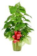 Gift-wrapped Epipremnum aureum plant Stock Photos