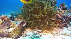 Clown Anemonefish on Coral Reef Stock Footage