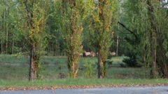 Herd of wild horses in the Chernobyl exclusion zone. - stock footage