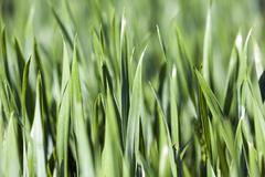 Leaves of wheat. close-up - stock photo
