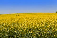 Rape field , sky - stock photo