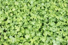 Clover leaves taken from overhead perspective in ful frame - stock photo