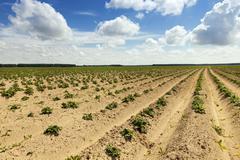 potato field , Belarus - stock photo