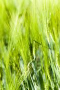 Unripe wheat germ Stock Photos