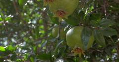 Green fruit of pomegranate tree in sunlight Stock Footage
