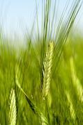 immature green grass - stock photo