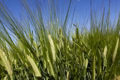 Immature grass sky Stock Photos