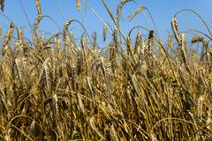 Agriculture cereals. summer Stock Photos