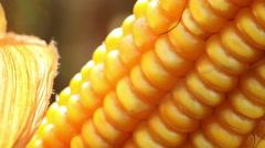 Spadix of sweet corn Stock Footage