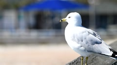 Seagull relaxing in Key West, Florida Stock Footage