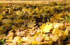 Fallen leaves of trees close-up Stock Photos