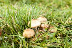 Poisonous mushrooms, grass Stock Photos