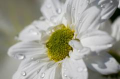 Detail of daisy with raindrops on the petals, flower field in spring with clo Stock Photos