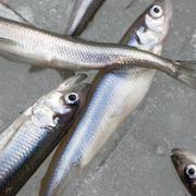 fresh smelt fish on the snow square image - stock photo