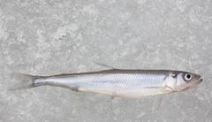 fresh smelt fish on white ice top view closeup - stock photo