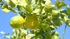 Unripe lemons on the tree, green lemons Stock Footage