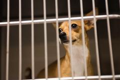 Chihuahua dog in cage at veterinary clinic Stock Photos