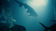 Shark and Fishes Swimming 4K Stock Footage