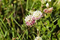 clover flower, summer - stock photo