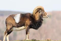 beautiful majestic mouflon ram ( Ovis orientalis, male ) - stock photo