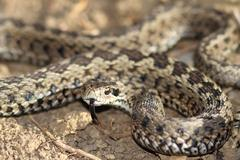 male meadow viper ready to strike ( Vipera ursinii rakosiensis ); this is the - stock photo