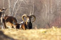 mouflon ram looking towards the camera ( Ovis orientalis, male ) - stock photo