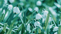 Snowdrops, The First Spring Flowers - stock footage