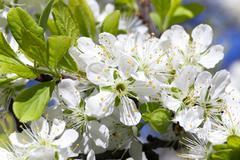 Cherry blossom , spring Stock Photos