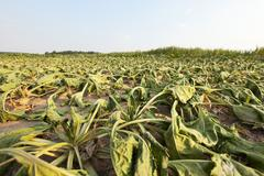 sluggish sugar beet - stock photo