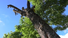 Ash tree with many keys against sky Stock Footage