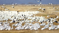 Snow Geese Flock Together Spring Migration Wild Birds Take Flight Stock Footage