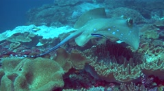Blue-spotted stingray (Dasyatis kuhlii) swimming over reef Stock Footage