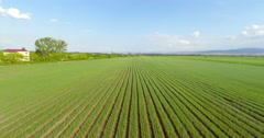 Aerial view of green onions field Stock Footage